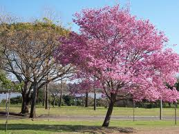 Purple Lapacho tree